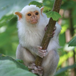 Like this one of a silvery marmoset.